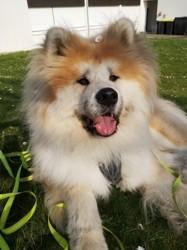 Nanuq, chien Akita Inu