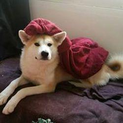 Naoko, chien Akita Inu