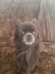 Naomie, chien Chihuahua