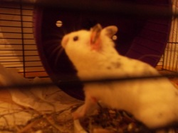 Napo', rongeur Hamster