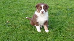 Napoleon, chien Berger australien