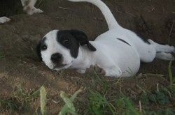 Narco, chiot Jack Russell Terrier