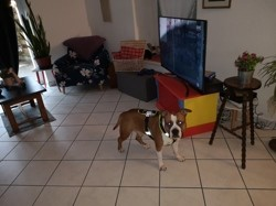 Narko, chien American Staffordshire Terrier