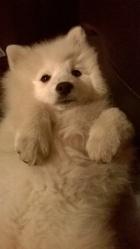 Natzu, chien Spitz japonais