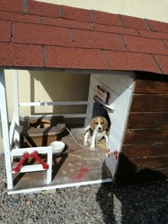 Nasca, chiot Beagle