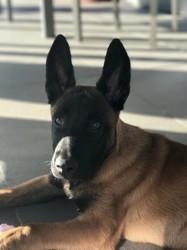 Nasco, chien Berger belge