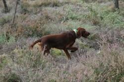 Naseals, chien Setter irlandais