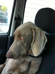 Nash 9 Mois, chien Braque de Weimar