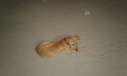 Nash, chien Rhodesian Ridgeback