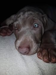 Naska, chien Braque de Weimar