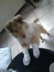 Natacha, chien Colley à poil long
