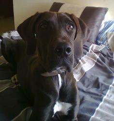 Natasha, chien Dogue allemand