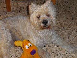 Nathan, chien Berger des Pyrénées