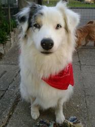 Natsu, chien Berger australien