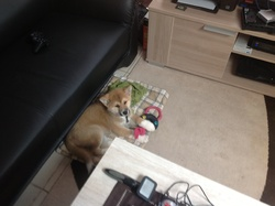 Natsu, chien Akita Inu