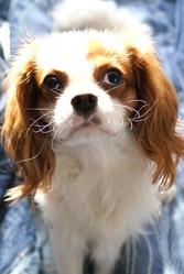 Natsu, chien Cavalier King Charles Spaniel