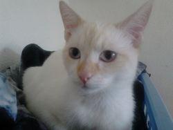 Natsu, chat Européen