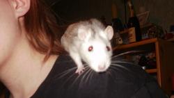 Natsuki, rongeur Rat