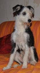 Navajo, chien