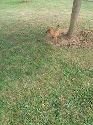 Navette, chien Pinscher