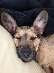 Naya, chien Cairn Terrier