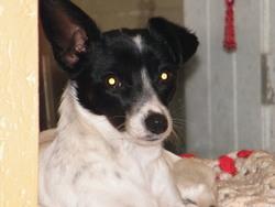 Naya , chien Jack Russell Terrier