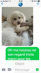 Naya, chien Bichon à poil frisé