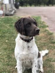 Naya, chien Petit Münsterländer