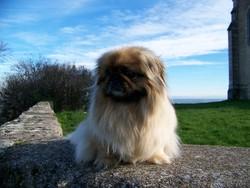 Naya, chien Pékinois