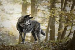 Naya, chien Berger allemand
