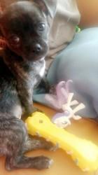 Naya, chiot Chihuahua