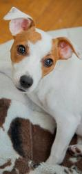 Néa, chien Jack Russell Terrier