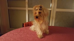 Nebeh, chien Yorkshire Terrier