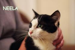 Neela, chat Européen