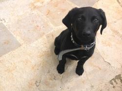 Negro, chien