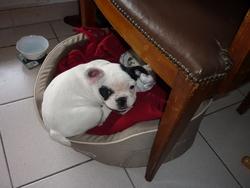 Neige, chien Bouledogue français