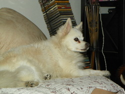 Neige, chien Spitz japonais
