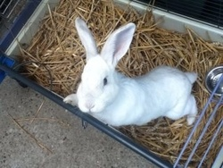 Neige, rongeur Lapin
