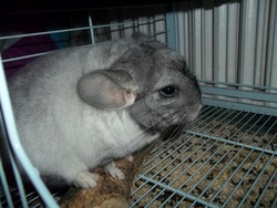 Neige, rongeur Chinchilla