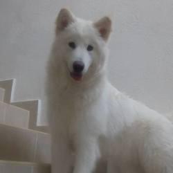 Neige, chien Malamute de l'Alaska