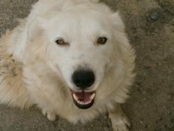 Neige, chien Colley à poil court