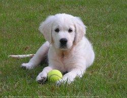 Neige, chien Golden Retriever