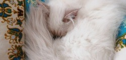 Neige, chat Birman