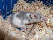 Neige , rongeur Hamster
