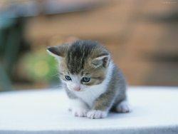 Neige, chat Balinais