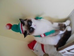 Neige, chat Snowshoe