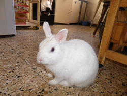 Neige , rongeur Lapin