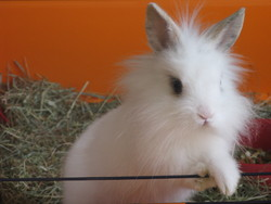 Neigeline, rongeur Lapin