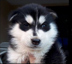 Neiko, chiot Husky sibérien