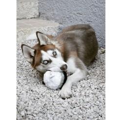 Neiko, chien Husky sibérien